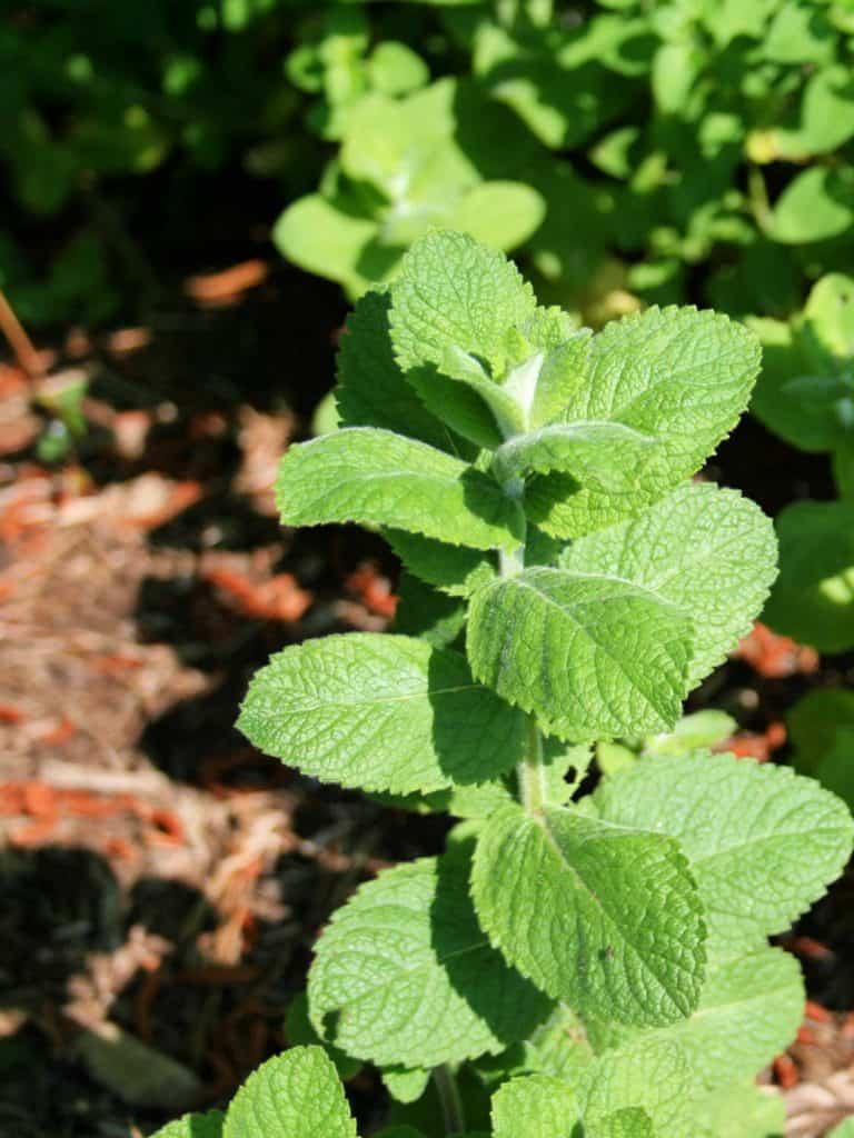 close up of apple mint plant