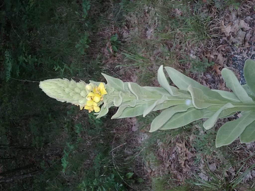 mullein plant in flower