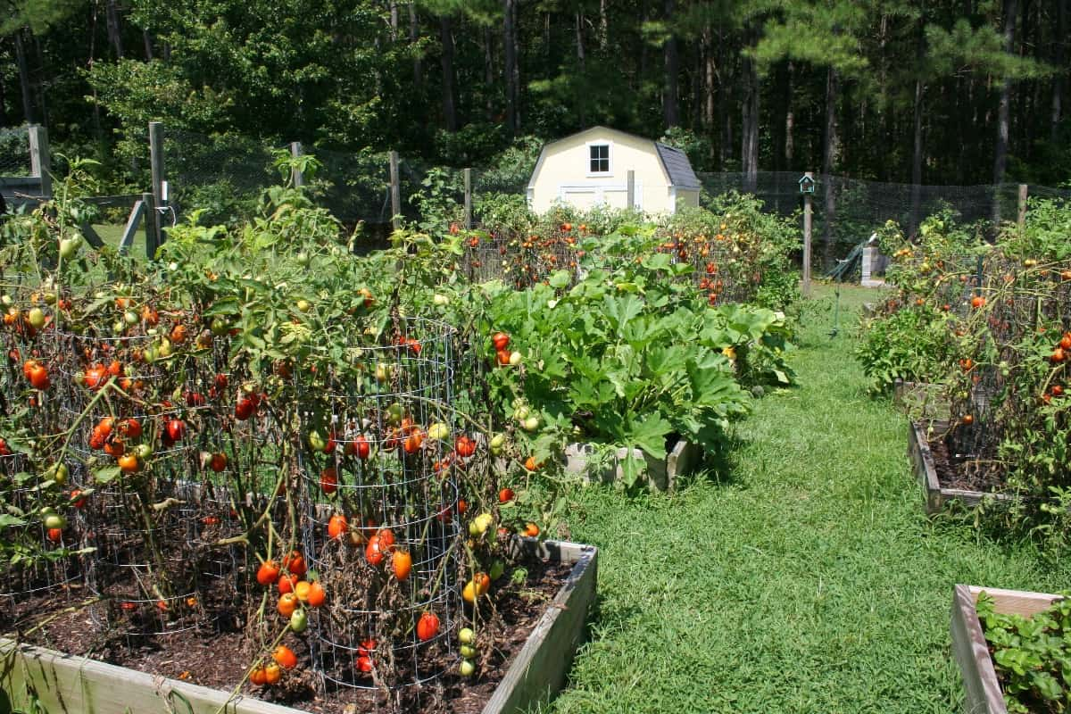 beds of ripe tomatoes in a raised bed vegetable garden