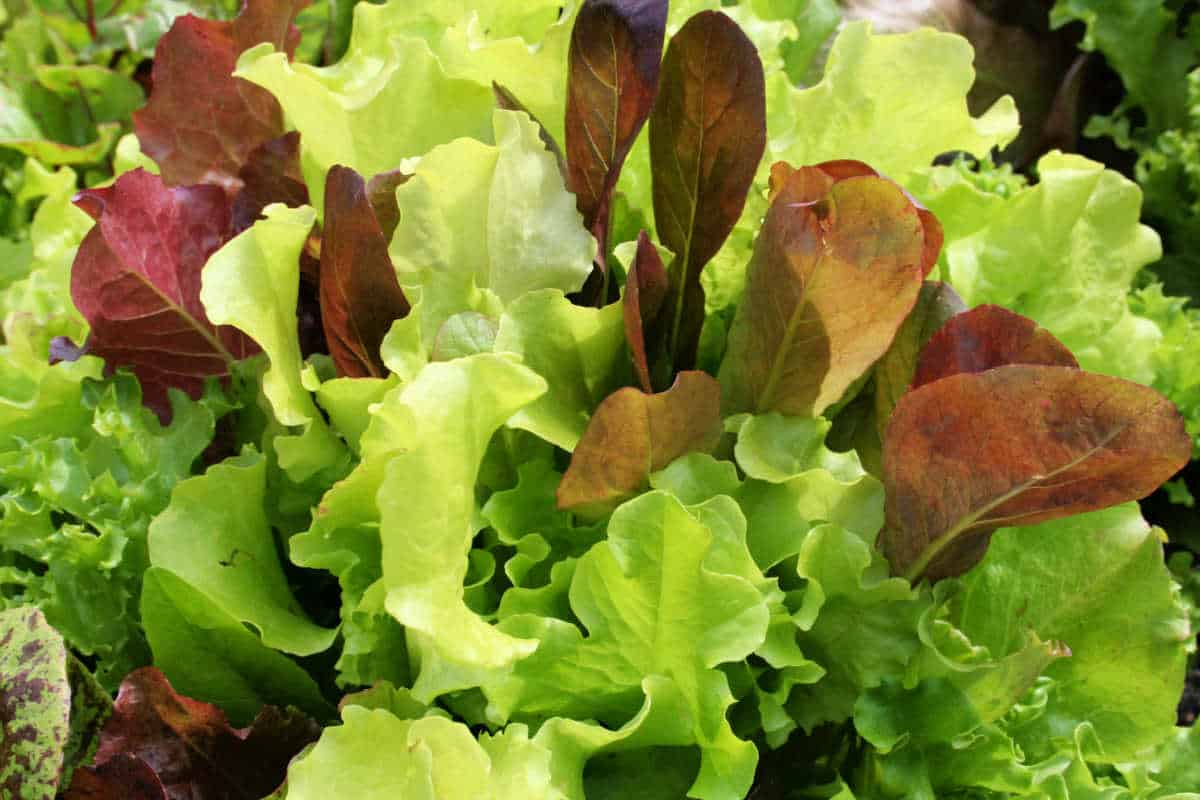 red and green lettuce in the garden