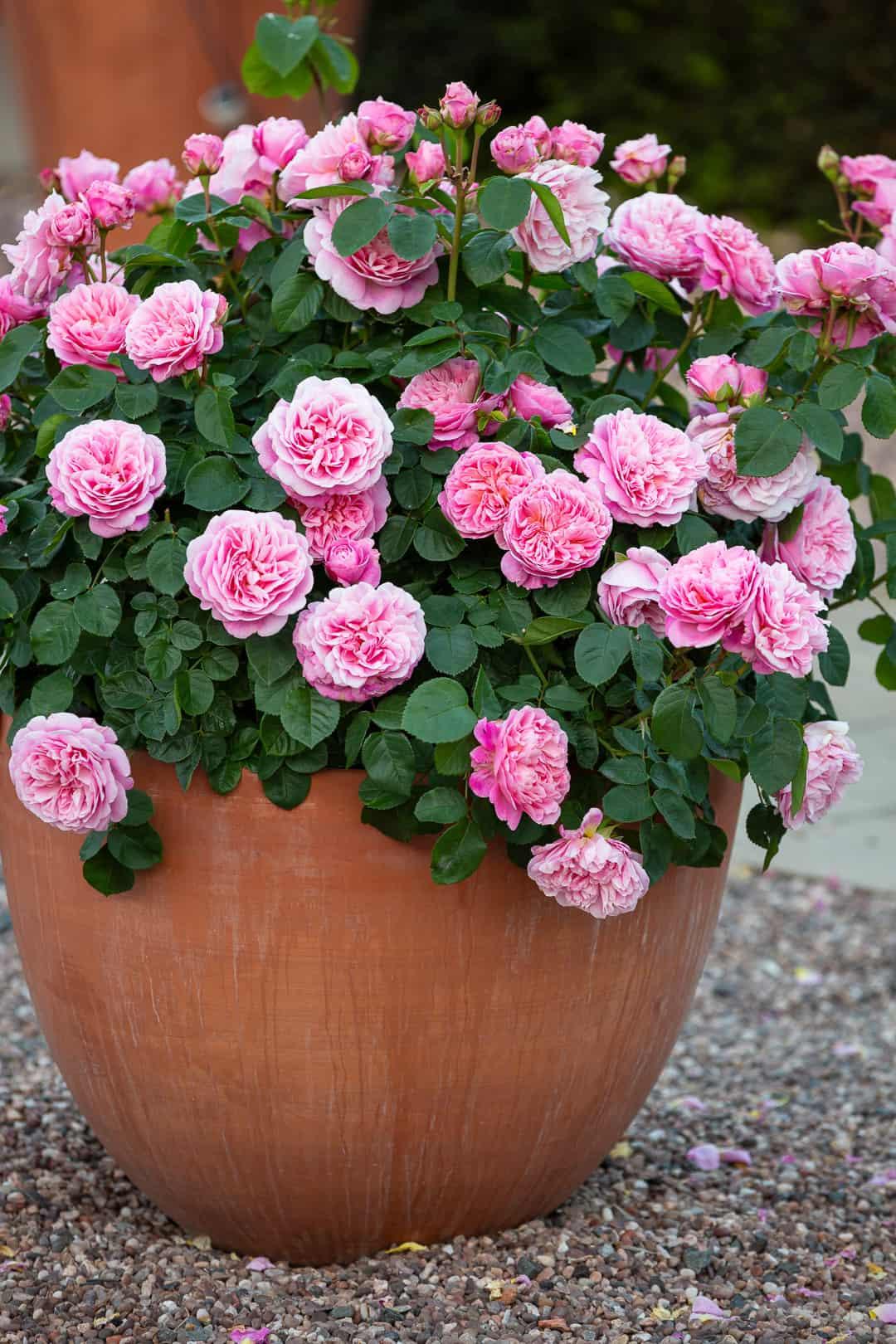 David Austin English Rose 'Eustacia Vye'