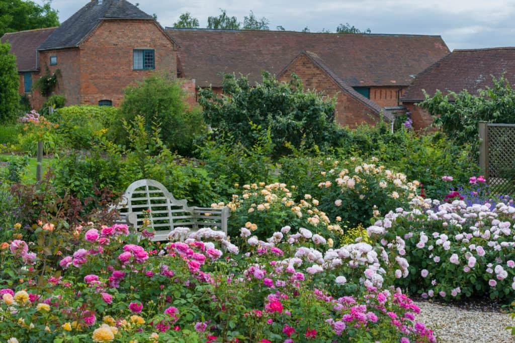 Garden scene with David Austin roses