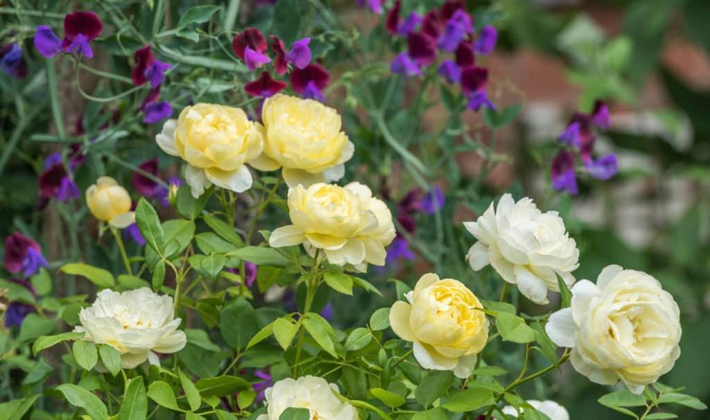 yellow fragrant roses