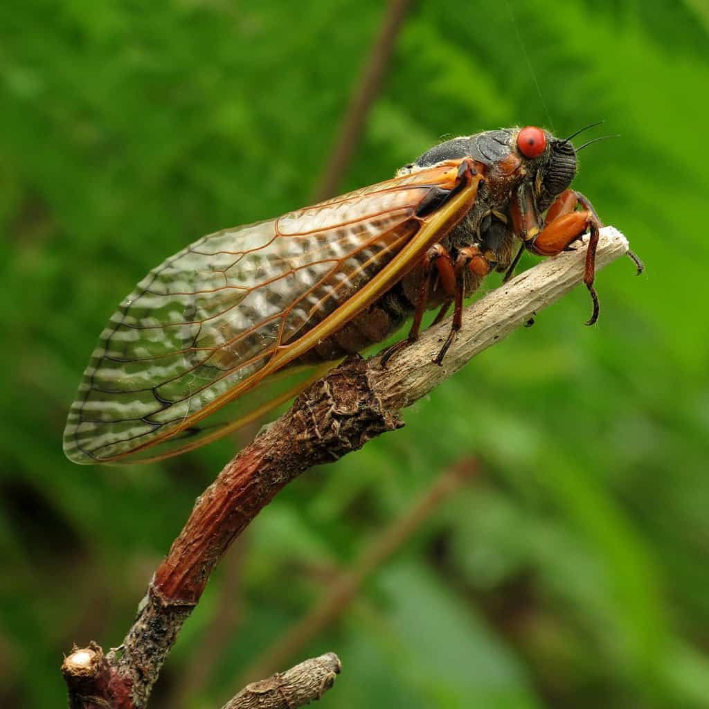 a picture of the 17 year cicada