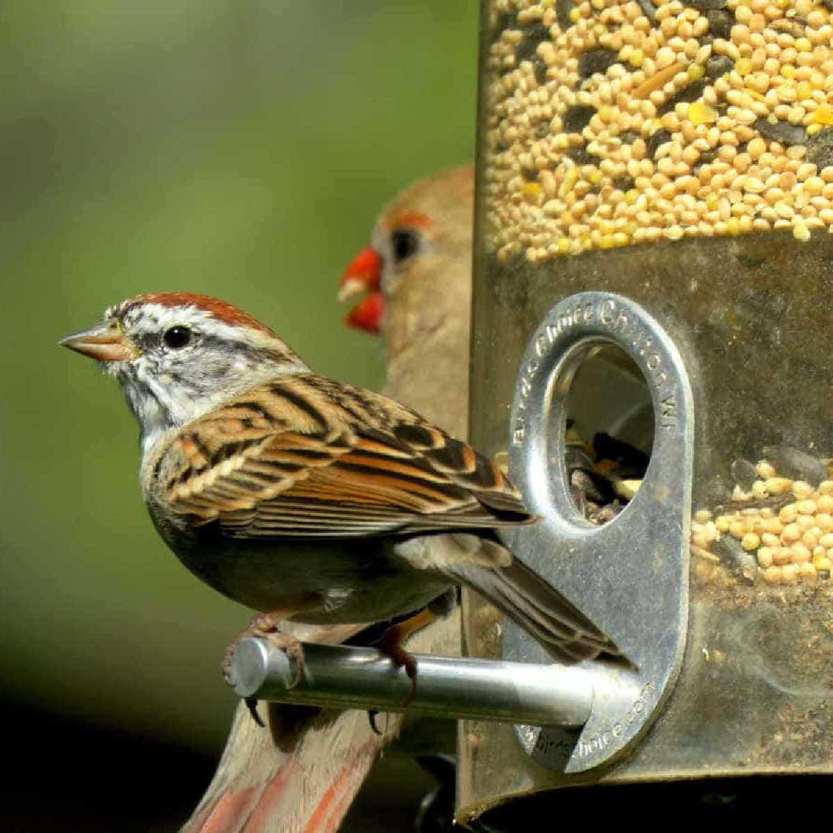 sparrow on a bird feeder perch