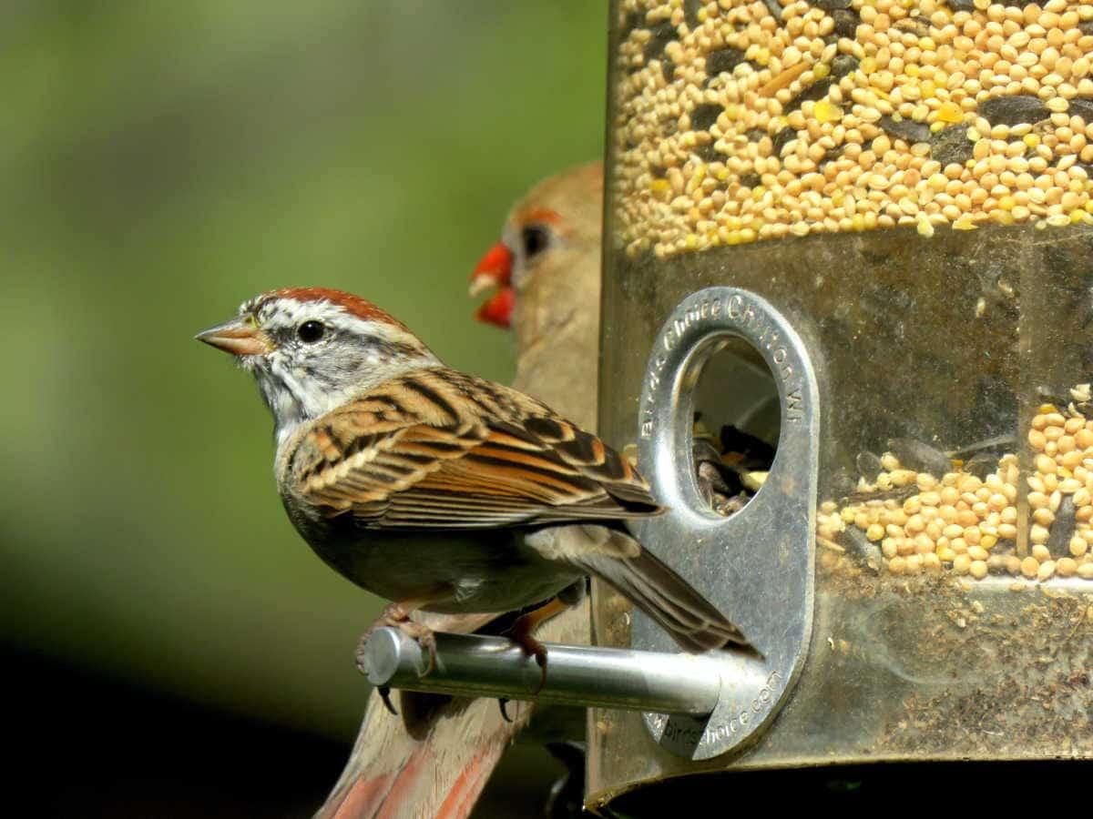 sparrow on a bird feeder