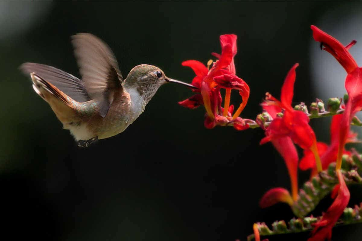 a hummingbird sipping from a red flower
