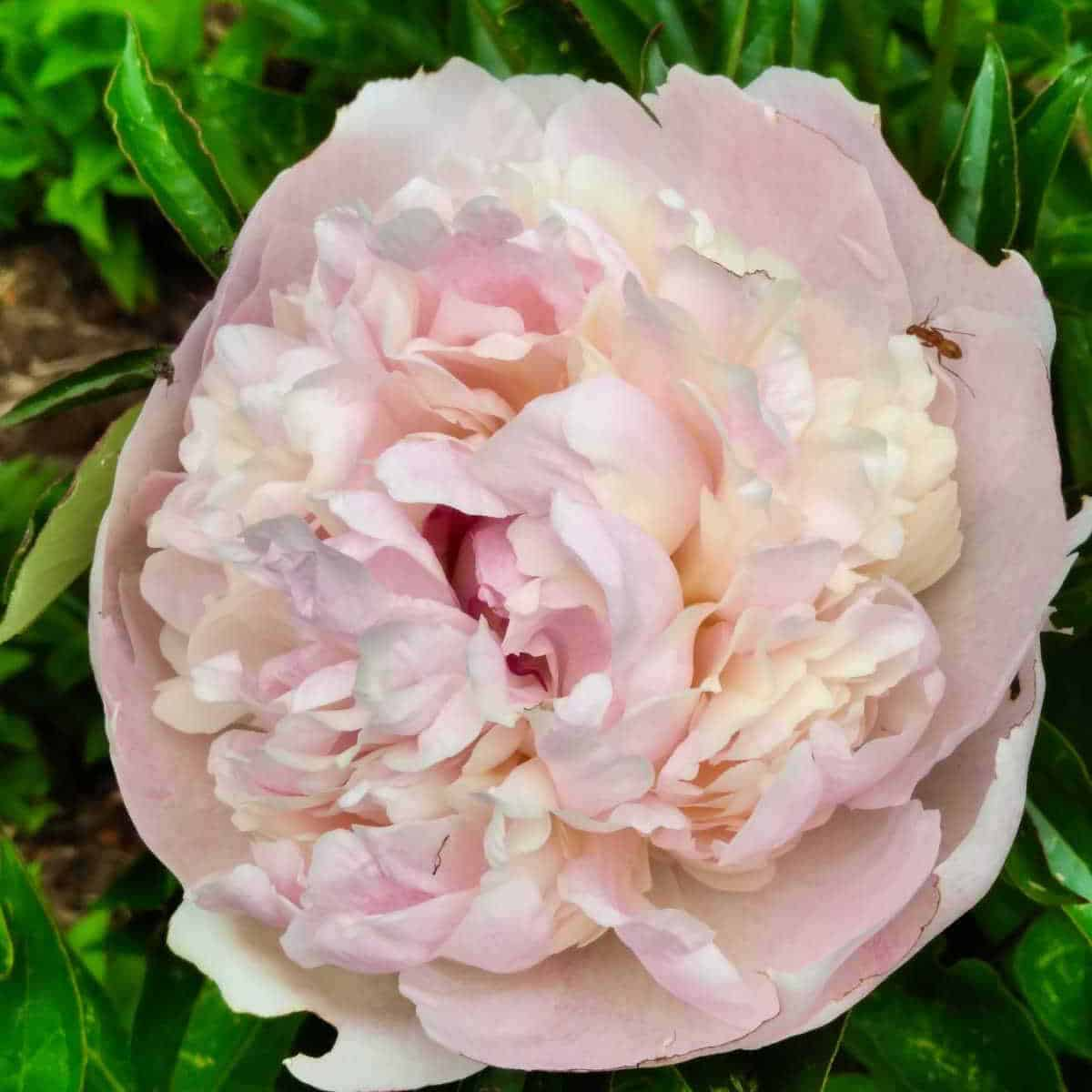 a closeup of a pink peony flower and an ant