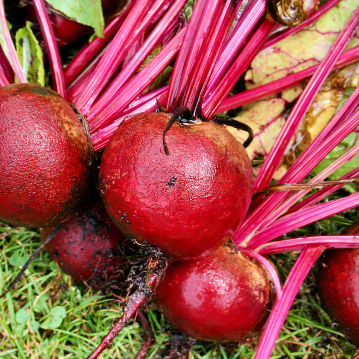 fresh beets from the garden on the lawn after being washed